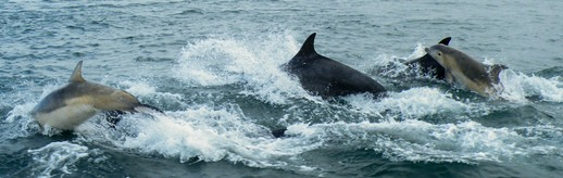 Bottlenose Dolphins playing alongside, just north of Crinan.